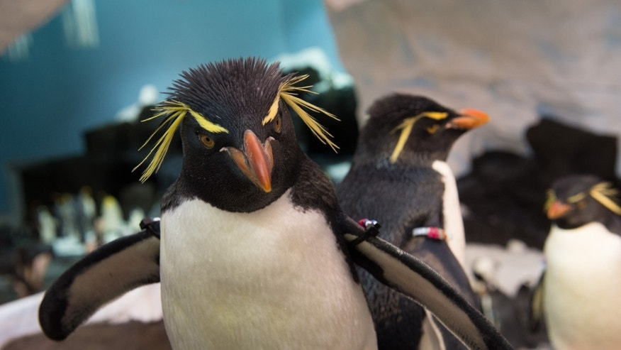 The Rockhopper penguin.