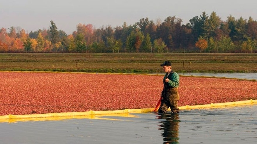 The fall cranberry harvest in Wisconsin.