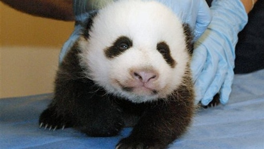 FILE: Mei Xiang's giant panda cub undergoing an exam on Oct. 11, 2013, at the zoo in Washington.