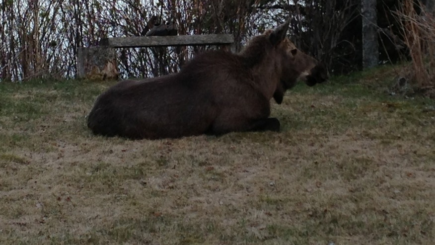 Moose are known to attack, but this one  joined us in the backyard of our rented cottage on several occasions.