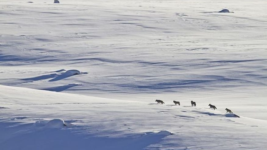 Winter Wolf Viewing, Lamar Valley, Yellowstone National Park