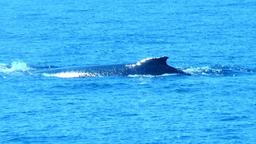 A humpback whale in the Pacific Ocean off the coast of Kahului, Maui, Hawaii.