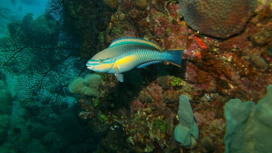 A princess parrotfish is seen in the Saba Marine Park in Saba in the Caribbean.