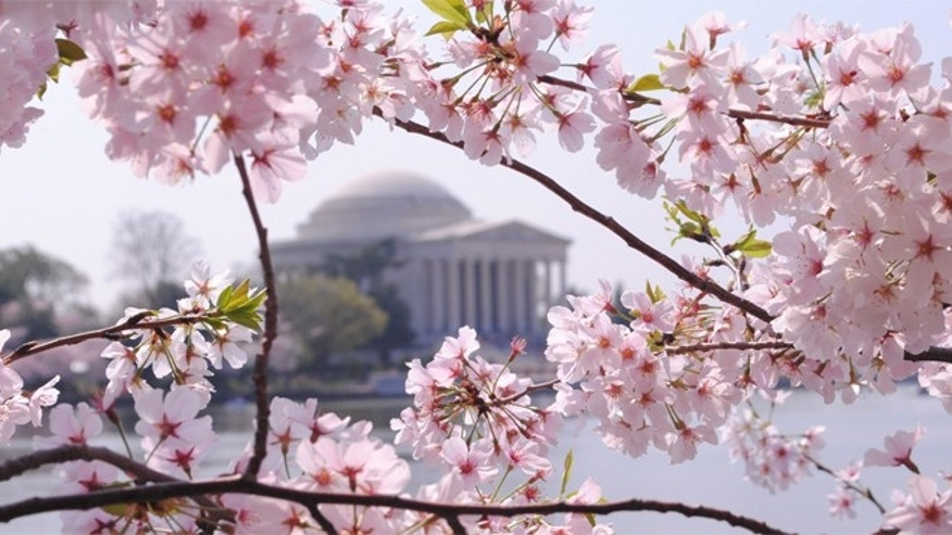 Each year, millions of tourists visit the nation's capital to admire the blossoming pink cherry trees that surround the Tidal Basin.