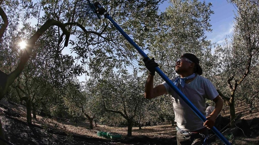 Olive oil production in the U.S. is steadily growing. The domestic industry, with mostly high-end specialty brands, has gone from 1 percent of the national olive oil market five years ago to 3 percent today.