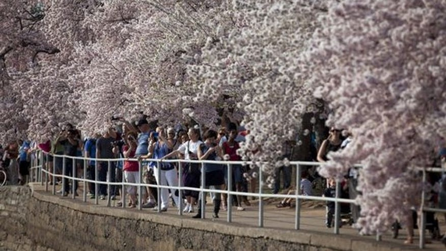 Cherry Blossom Tours led by The National Park Service