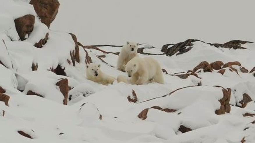 Polar Bears in Bellot Strait between Gulf of Bothia and Beaufort sea.