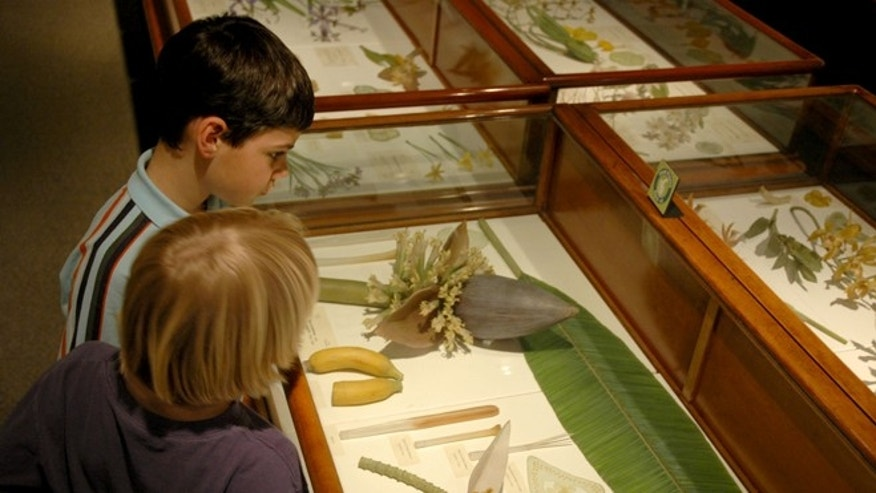 Young visitors looking at the Blaschka glass model of the banana at the Harvard Museum of Natural History.