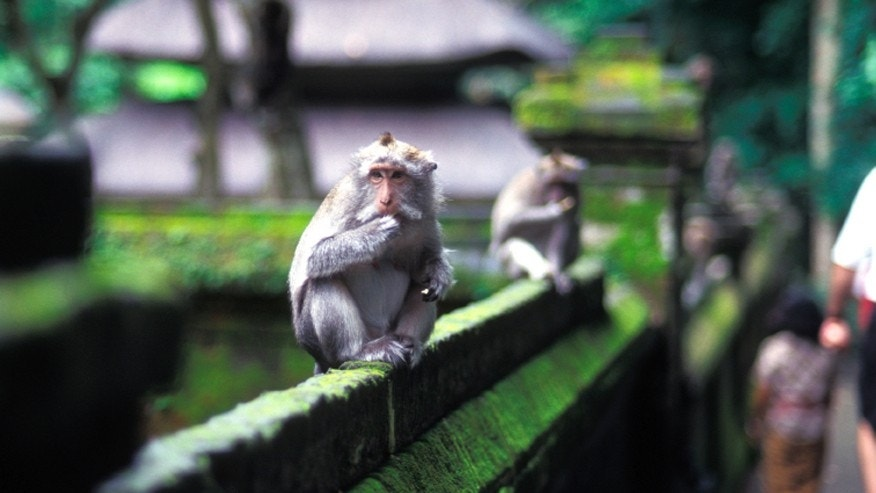 A temple monkey perched on a wall in Indonesia.