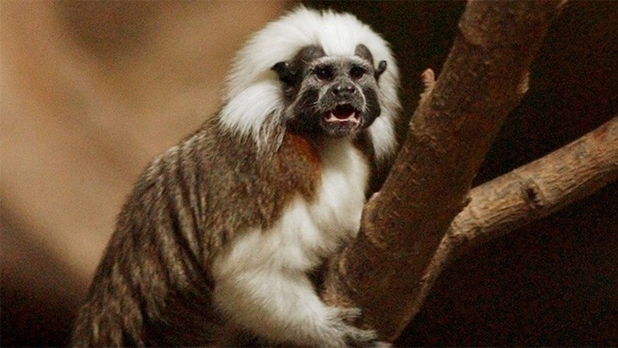 From Colombia,  Cotton-top tamarin monkeys need temperatures of 76 to 85 degrees to survive.