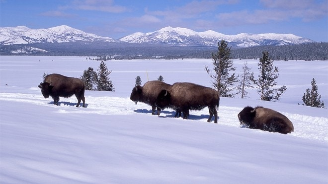 Discover the wonders of Yellowstone in winter