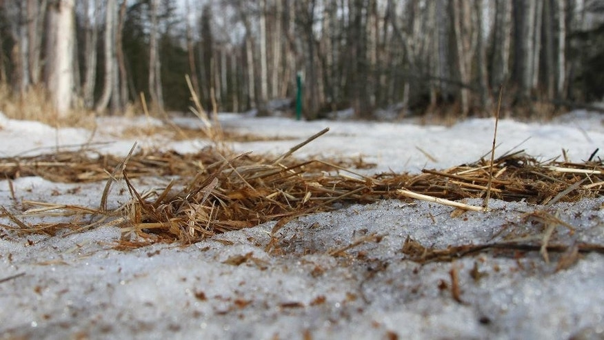 In this photo taken Thursday, March 5, 2015, are bare patches of grass and mud on sled dog trails in Anchorage, Alaska. Warm weather and barren trails south of the Alaska Range prompted race officials to move the official start of the race from the greater Anchorage area to Fairbanks, Alaska. (AP Photo/Mark Thiessen)