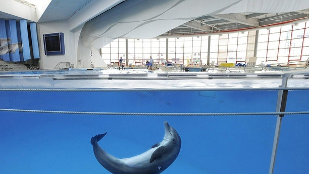 E17J1T A dolphin plays in the tank before a training session at the National Aquarium in Baltimore, August 13, 2013. (Lloyd Fox/Baltimore Sun/MCT)