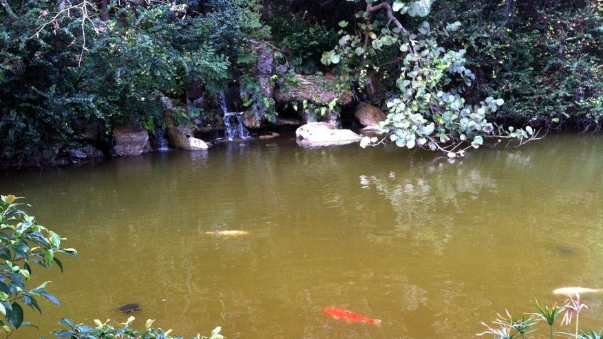 Feb. 7, 2015:  A feeding ares for koi at Morikami Museum and Japanese Gardens in Delray Beach, Fla.
