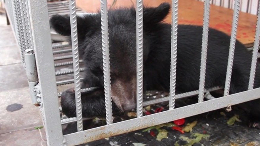 "Bear cubs are often kept in cages outside restaurants where diners can order up ""delicacies"" like bear paw soup."