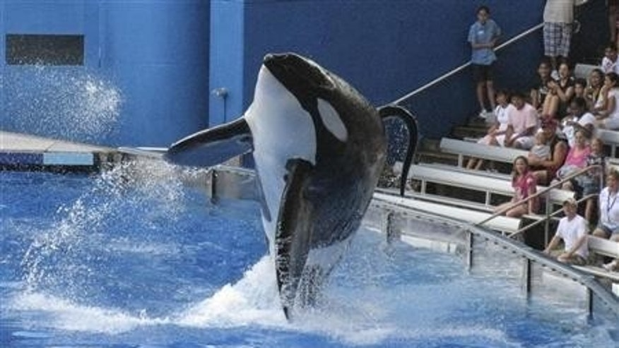 Tillikum, a killer whale at SeaWorld amusement park, performs during the show in this 2009 file photo.