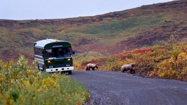 Grizzly bear with cubs on the road