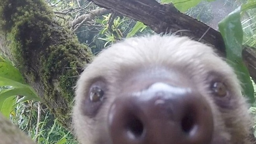 This playful sloth will melt your heart.