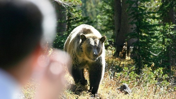 A person take a photo of a Grizzly Bear.