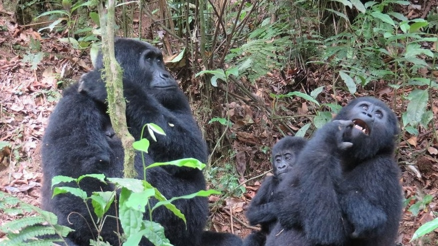 Seeing gorillas in the wild can be a once-in-a-lifetime experience.
