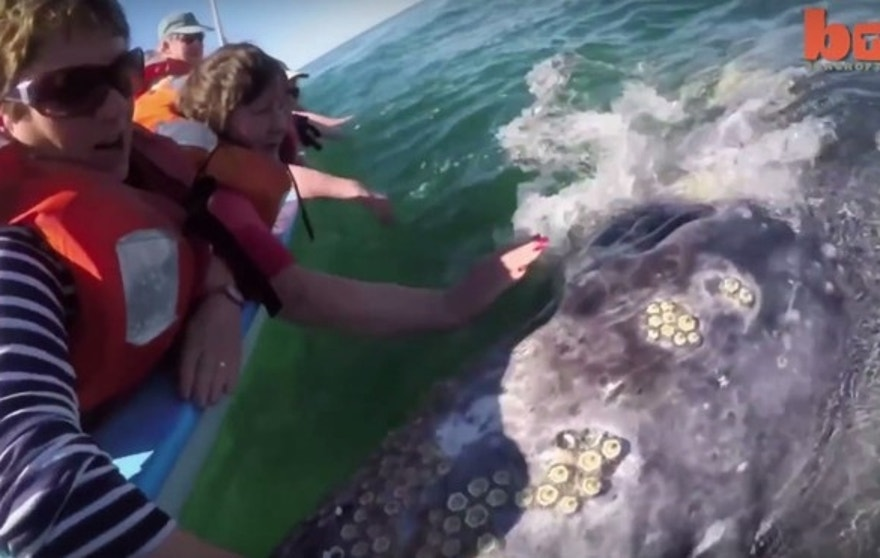 Tourists get an up close and personal look at the barnacle-covered whale.