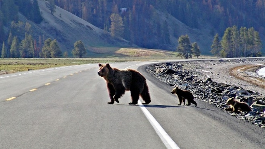 A bear crosses the road with her cub in Yellowstone National Park.