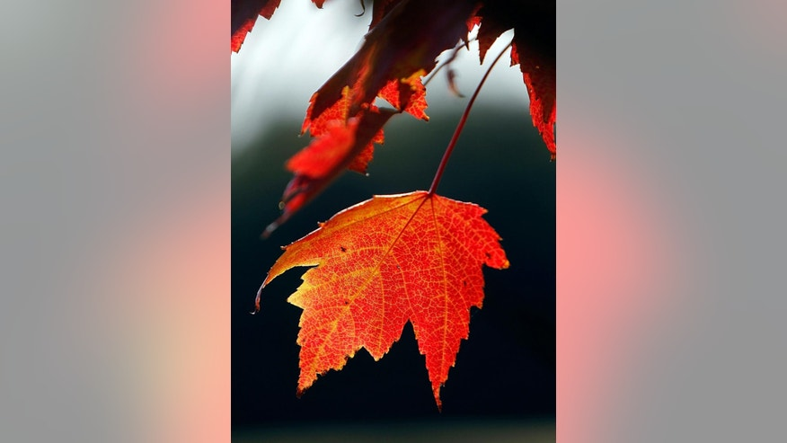 FILE - In this Sept. 12, 2012 file photo, a red leaf hangs from a tree in Greensboro, Vt.  Tourism promotors have mapped out a fall foliage tour of New England's outdoor museums for the 2015 leaf-peeping season. (AP Photo/Toby Talbot, File)