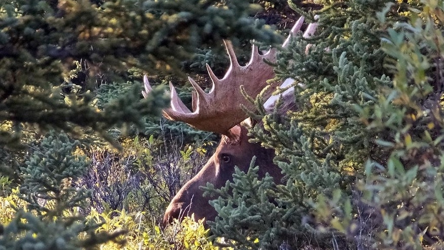 A moose is seen amid vegetation, Tuesday, Sept. 1, 2015, in Denali National Park and Preserve, Alaska. The summer travel season is winding down at Denali National Park and Preserve, a time of year that sees the vast majority of visitors to this largely wild place. (AP Photo/Becky Bohrer)