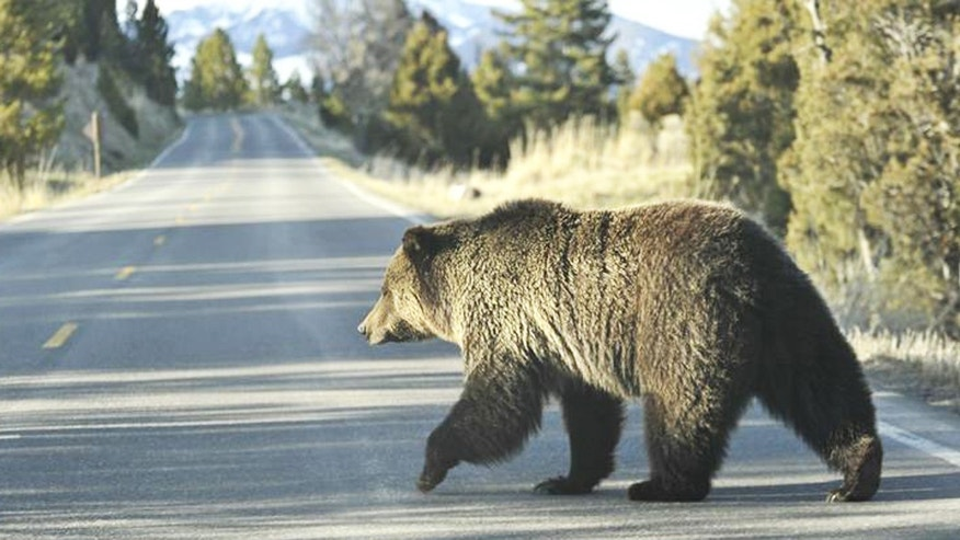 Wildlife managers have euthanized 24 grizzly bears in the Greater Yellowstone area this year, a five year record.