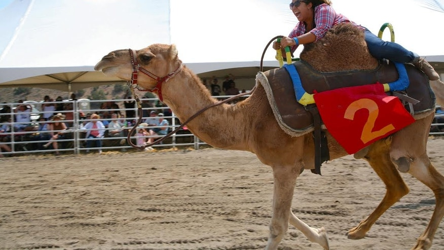 Hold on tight. That camel is a speed demon.