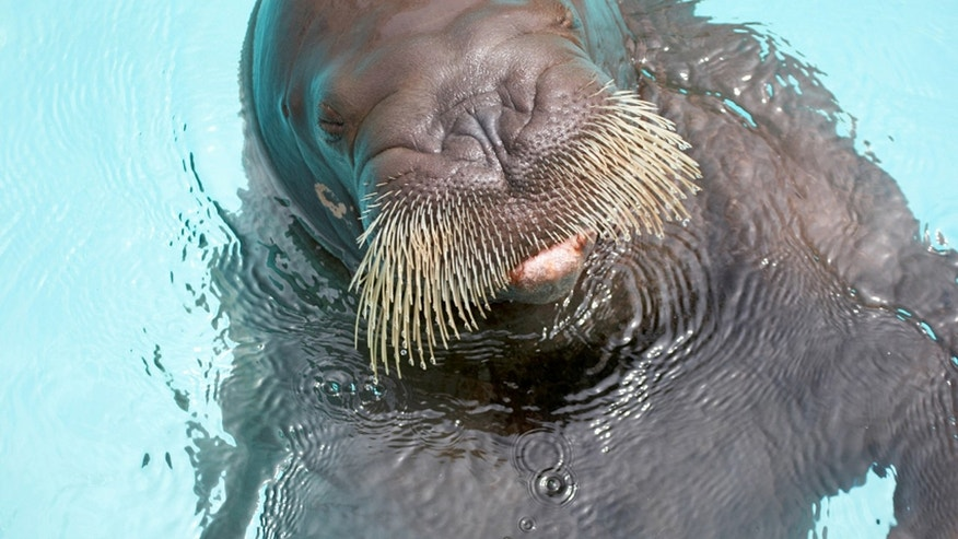 A male tourist and the walrus' trainer were dragged underwater by the animal and died before emergency personnel could save them. There are currently no barriers at the walrus exhibit, which remains open.