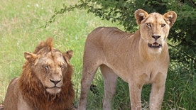 Male and female lions in Kruger National Park, South-Africa.