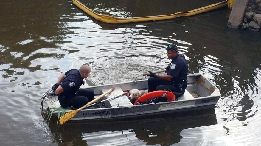Zach Steinfeld, left, and Francisco Romero, right, bring a male adult collie named Dart back to shore after it was rescued from a swamp Monday, Aug. 2, 2016, following its escape from New Jersey's Newark International Airport. (Joe Pentangelo via AP)