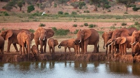 FILE - In this Sunday, March 25, 2012 file photo, elephants gather at dusk to drink at a watering hole in Tsavo East National Park, Kenya. A human rights group says Kenya wildlife rangers are allegedly executing suspected elephant poachers to cover-up their collusion with the criminals. Muslims for Human Rights or MUHURI in a new report documents disappearances and extra judicial killings of 17 suspected poachers living around the Tsavo National parks whose elephant population has been hardest hit over the years by the poaching menace. (AP Photo/Ben Curtis, File)