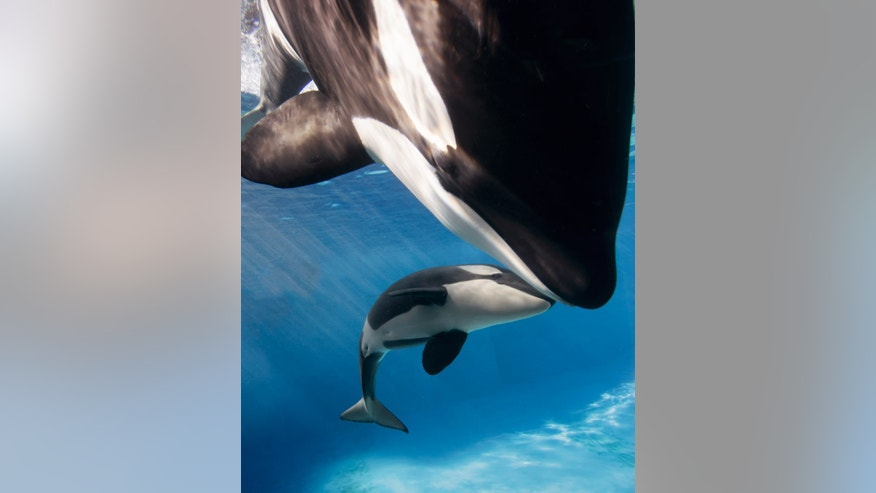 Killer whales Kalia and her daughter Amaya swim together at SeaWorld San Diego's Shamu Stadium.