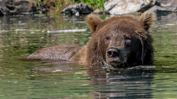 The brown bear (Ursus arctos) is one of the two largest predators on earth.  The other the polar bear.  The brown bear It is distributed across much of northern Eurasia and North America.