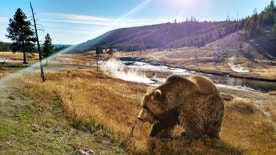 A scenic view with geysers in the background at Yellowstone National Park with a huge grizzly bear walking close to the camera.