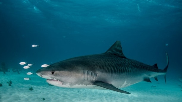 A large tiger shark side view taken off Grand Bahama Island in the Bahamas.