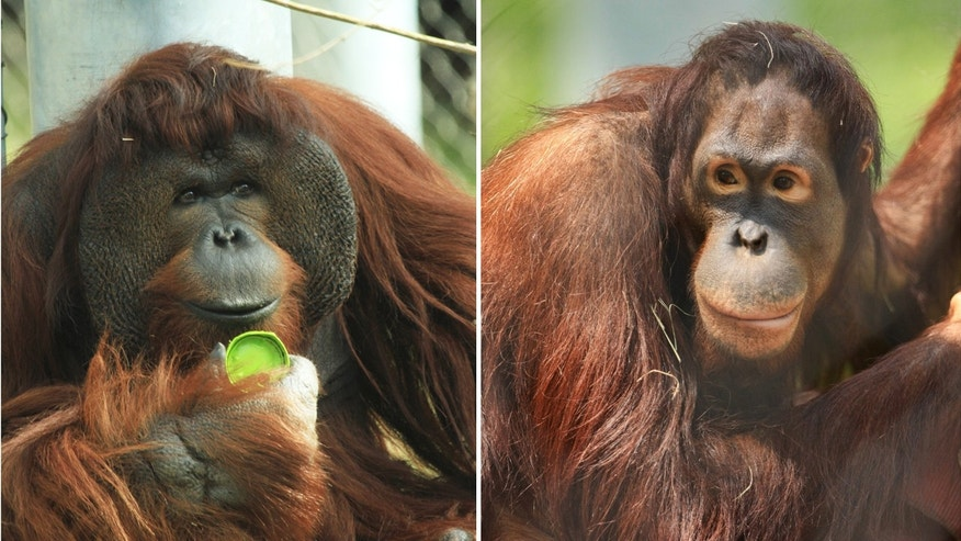 Orangutans Mei (right) and KJ are expecting a baby in January.