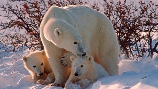 Polar bear with her cubs in Canadian Arctic