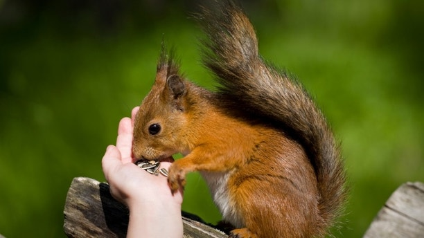Fluffy red squirrel eats sunflower seeds from a children's palm