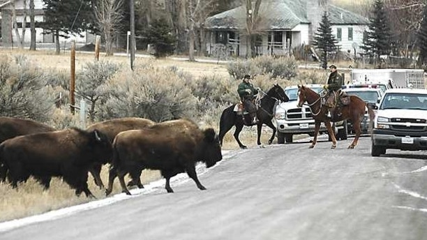 ** FILE ** Mounted Yellowstone National Park wranglers haze stray park bison off private land about seven miles north of Gardiner, Mont., Jan. 19, 2006. A new government report says clashing state and federal bureaucracies are hobbling efforts to stop the slaughter of bison leaving Yellowstone National Park -- even as the number of animals killed this year sets a new record.  (AP Photo/The Livingston Enterprise, Garrett Cheen, File)