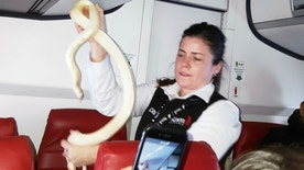 CORRECTS BYLINE NAME TO ANNA McCONNAUGHY- In this Sunday, March 19, 2017 photo, a flight attendant holds a snake found on a Ravn Alaska flight between Aniak, Alaska and Anchorage. The snake escaped from a passenger on a previous flight. The flight attendant captured the reptile and placed it in a trash bag and stowed it in an overhead luggage compartment. (Anna McConnaughy via AP)