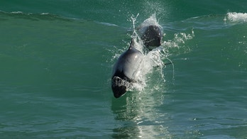 commerson's dolphin istock