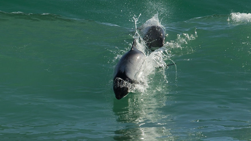 A Commerson's dolphin, like the one seen above, delivered a newborn baby calf at SeaWorld on Saturday.