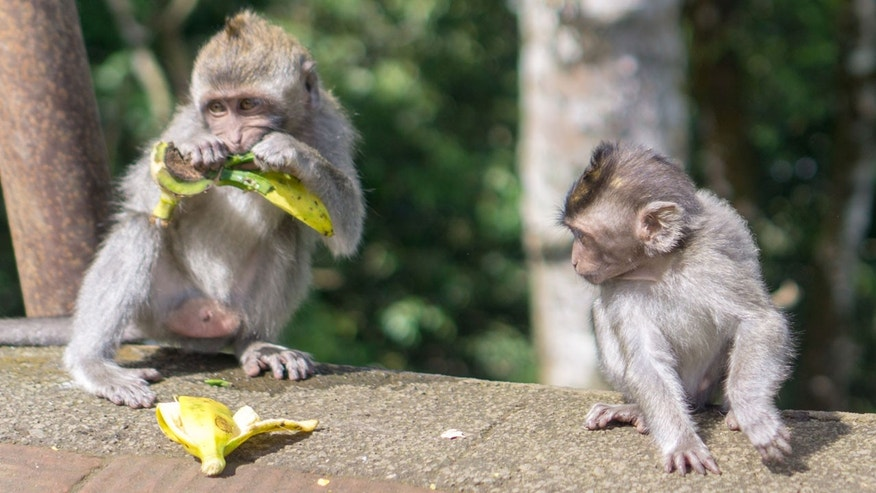 Monkeys at the Uluwatu Temple in Bali have learned how to steal food, bags and sunglasses.