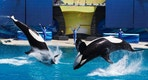 "Trainers have Orca killer whales perform for the crowd  during a show at the animal theme park SeaWorld in San Diego, California March 19, 2014. A California lawmaker introduced a bill to ban live performances and captive breeding of killer whales in the state, a measure that would force the SeaWorld San Diego marine theme park to end is popular ""Shamu"" shows.   REUTERS/Mike Blake   (UNITED STATESANIMALS ENVIRONMENT SOCIETY TRAVEL) - RTR3HTDU"