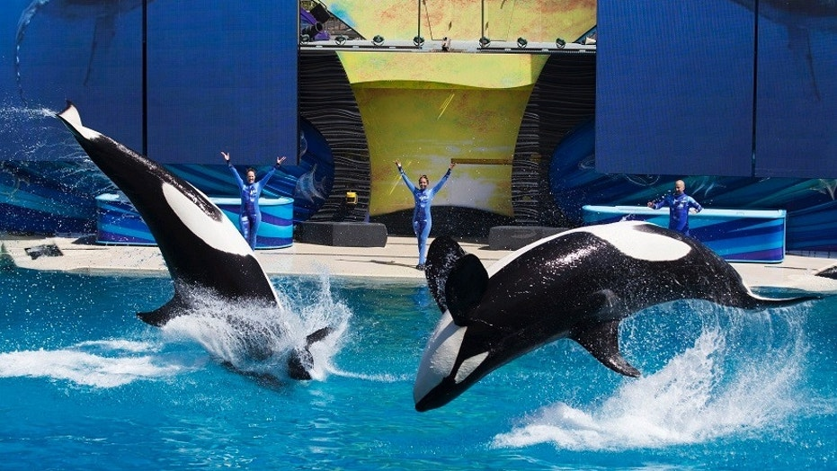 SeaWorld announced that they euthanized Kasatka, an ill orca whale at their San Diego park, after her health was declining.