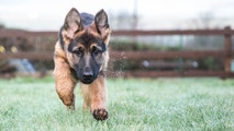 German SHepherd pup in action!