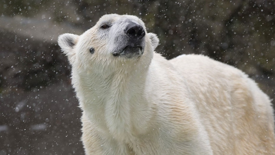 Tundra, 26, was born and raised at the Bronx Zoo.